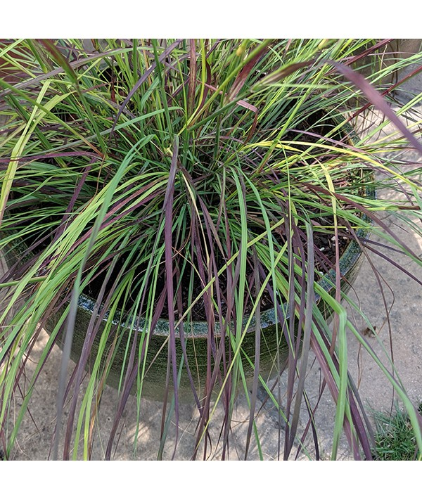 Eragrostis curvula Totnes Burgundy (1.5lt)