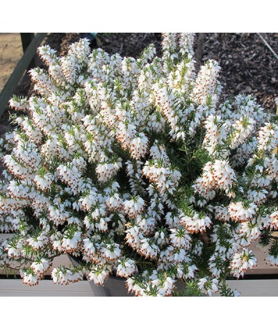 Erica carnea alba Ice Princess (0.8lt)