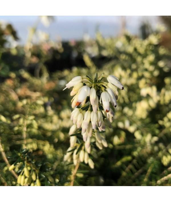 Erica carnea f. alba Springwood White (1.2lt)