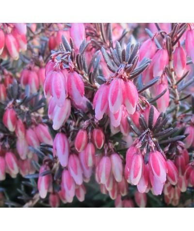 Erica carnea Winter Sun (0.8lt)
