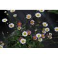 Erigeron karvinskianus 'Sea of Blossom' (1lt)