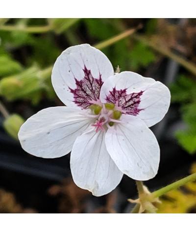 Erodium macradenum (1.5lt)