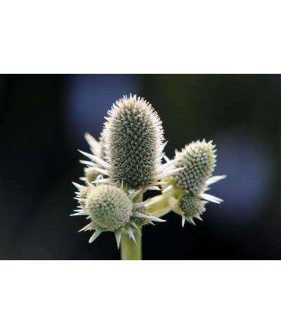 Eryngium agavifolium (1lt)