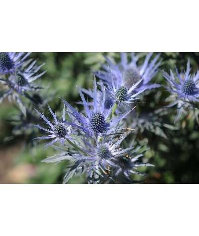 Eryngium bourgatii (1.5lt)