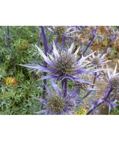 Eryngium bourgatii Picos Blue (1.5lt)