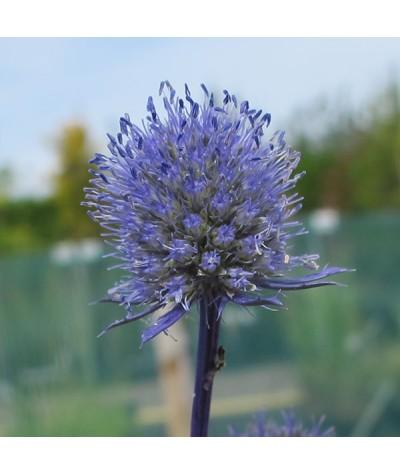 Eryngium planum Blue Cap (1lt)