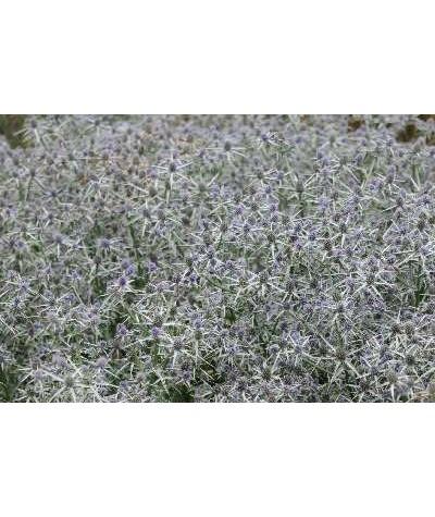 Eryngium variifolium (1lt)