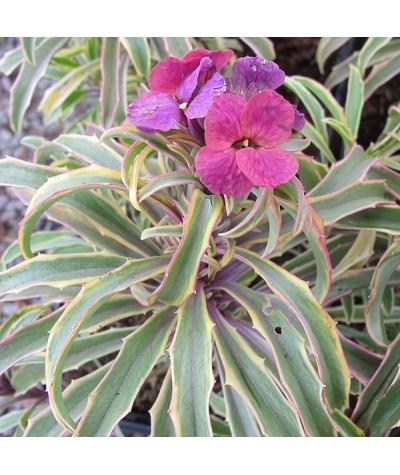 Erysimum linifolium Variegatum (1lt)