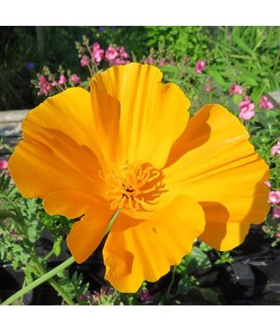 Eschscholzia californica (0.75lt)