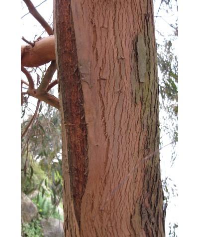 Eucalyptus nicholii (1.5lt)