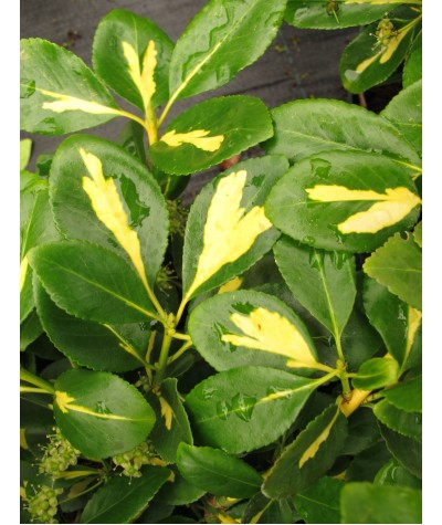 Euonymus fortunei Blondy (2lt)