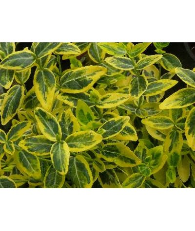 Euonymus fortunei Emerald 'n' Gold (2lt)