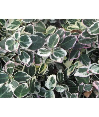 Euonymus fortunei Emerald Gaiety (2lt)