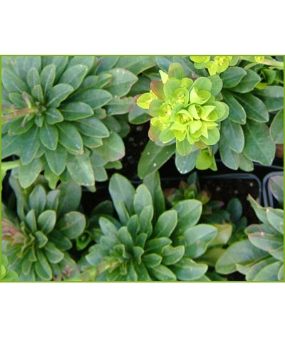 Euphorbia amygdaloides robbiae (1.5lt)