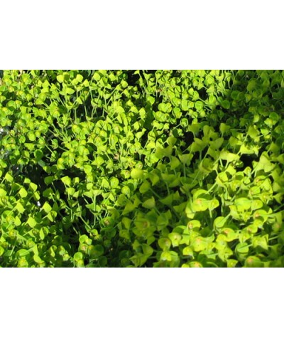 Euphorbia characias wulfenii (2lt)
