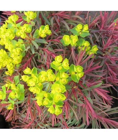 Euphorbia cyparisias Fens Ruby (1lt)