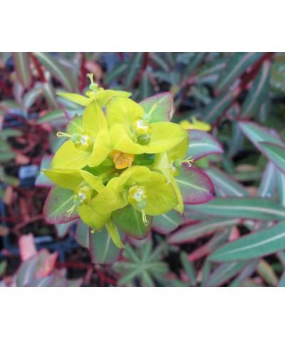 Euphorbia Excalibur (1.5lt)