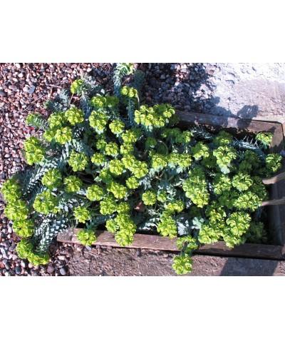 Euphorbia myrsinites   (1.5lt)