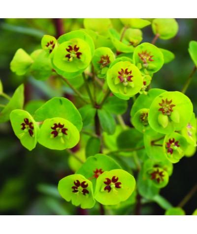 Euphorbia Whistleberry Garnet (3lt)