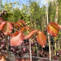 Fagus sylvatica Atropurpurea (bare root)