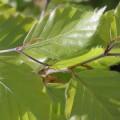 Fagus sylvatica (100-125cm bare root)