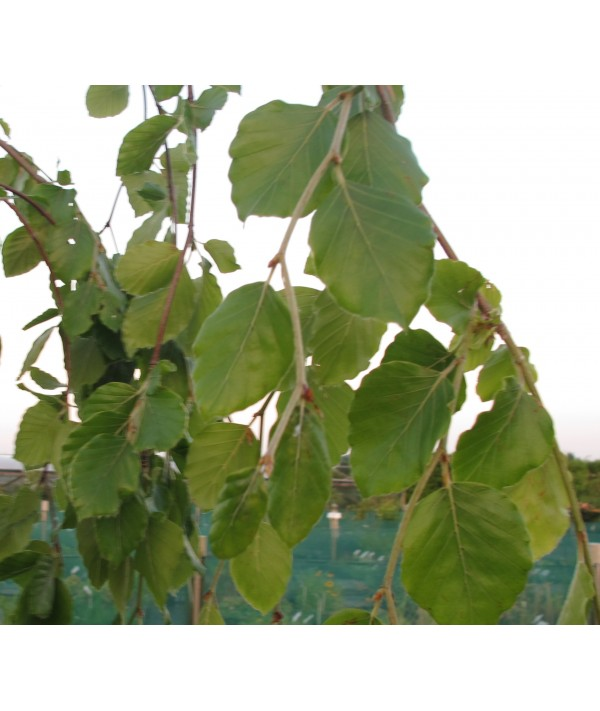 Fagus sylvatica Pendula (35lt)