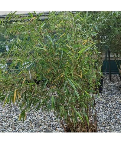 Fargesia robusta Asian Wonder (15lt)