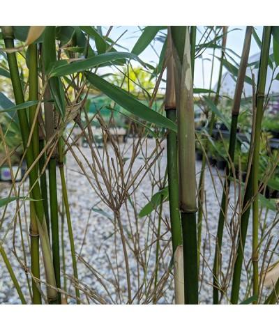Fargesia robusta Pingwu (15lt)