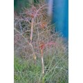 Foeniculum vulgare Purpureum (0.8lt)