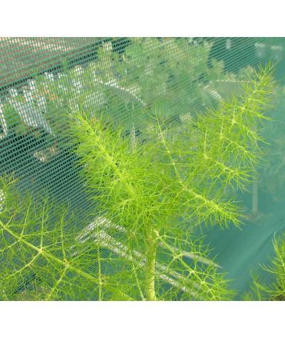 Foeniculum vulgare   (0.8lt)