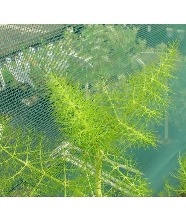 Foeniculum vulgare  (green fennel)  (1lt)