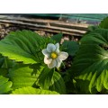 Fragaria x ananassa Cambridge Favourite (9cm)