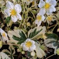 Fragaria x ananassa Variegata (2lt)