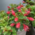 Fuchsia Chilli Red (1lt)
