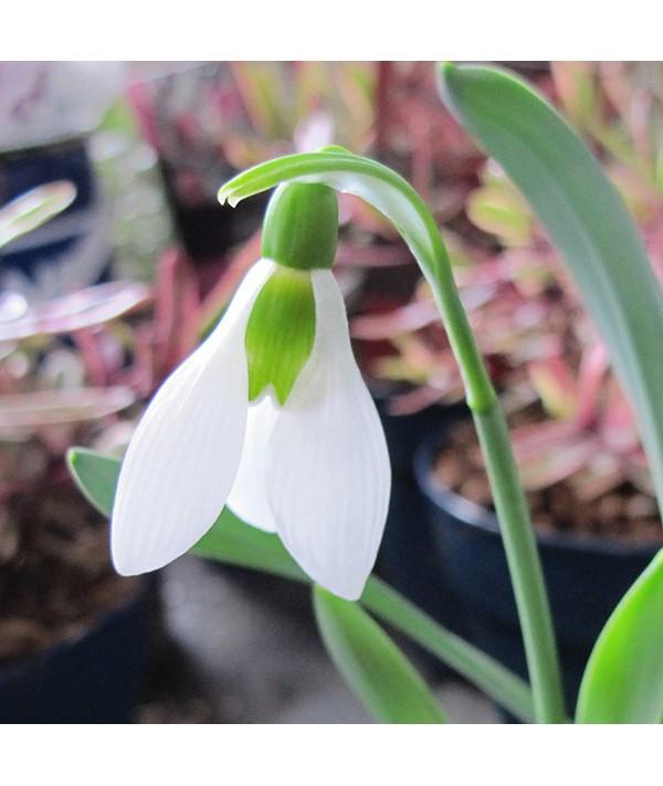 Galanthus elwesii (1lt)