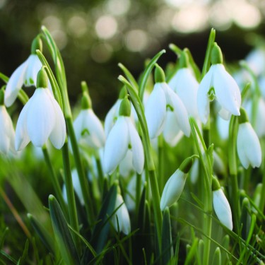 Stories from Langthorns - Galanthus nivalis