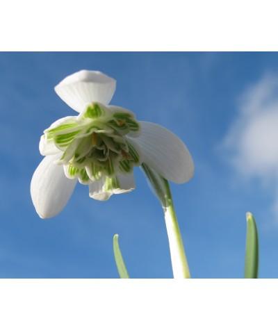 Galanthus nivalis pleniflorus Flore Pleno (1lt)