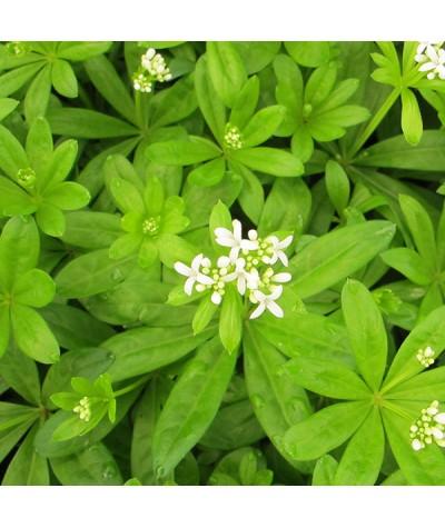 Galium odoratum (1lt)