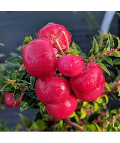Gaultheria mucronata Crimsonia (f)