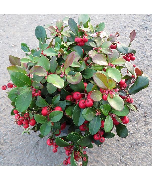 Gaultheria procumbens Big Berry (1.5lt)
