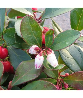 Gaultheria procumbens Big Berry (1.5lt)