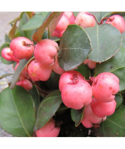 Gaultheria procumbens Pink Pearl (1lt)
