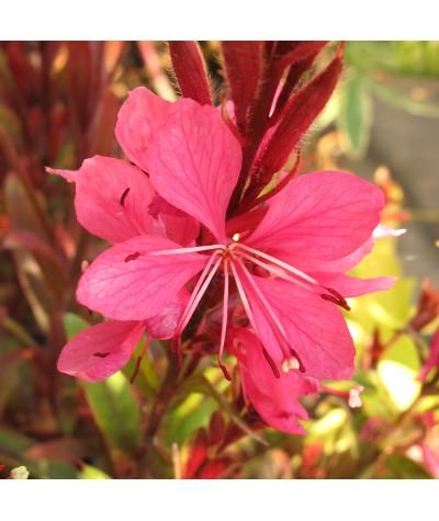 Gaura lindheimeri Crimson Butterflies (1lt)