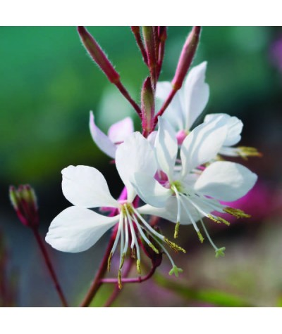 Gaura lindheimeri Summer Breeze (1lt)