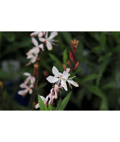 Gaura lindheimeri The Bride (1lt)