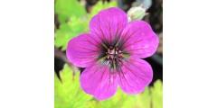 Geranium Salome (1lt)