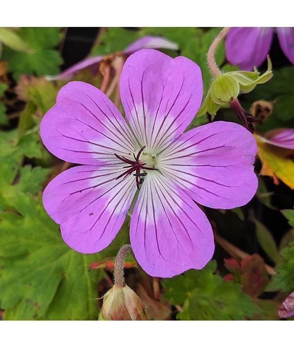 Geranium Bloomtime (1.5lt)