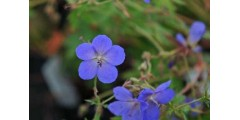 Geranium Johnsons Blue (2lt)