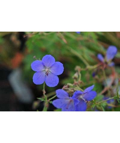 Geranium Johnsons Blue (1lt)