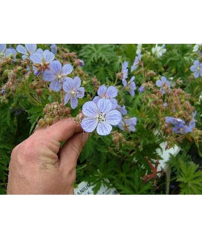 Geranium pratense Mrs Kendal Clarke (1lt)